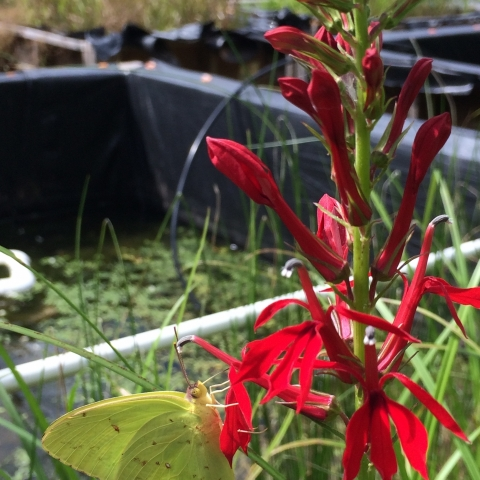 Though we don't plant them ourselves, beautiful flowers often find their way into mesocosm boxes and are a welcome addition