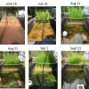 These panels are a time lapse of initially setting up and establishing our mesocosm ecosystems, which takes several months in total.