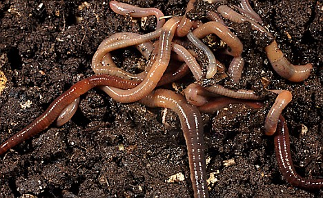 Near the bottom of the food chain, earthworms can accumulate nanoparticles