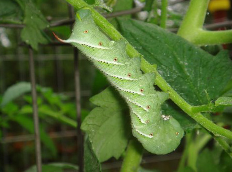 Tobacco hornworms shown to accumulate gold nanoparticles